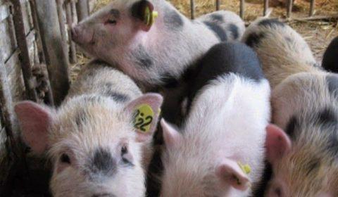 Учет в свиноводстве